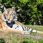 Zoologisk have - en tiger ligger og soler sig