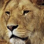 I Odense Zoo kan du bl.a. opleve løver.