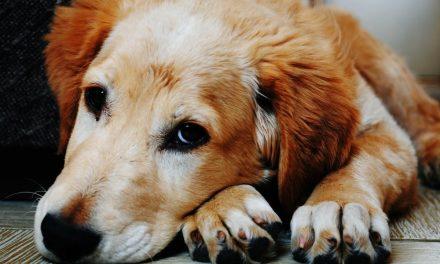 3 grunde til, at en hund øger din produktivitet